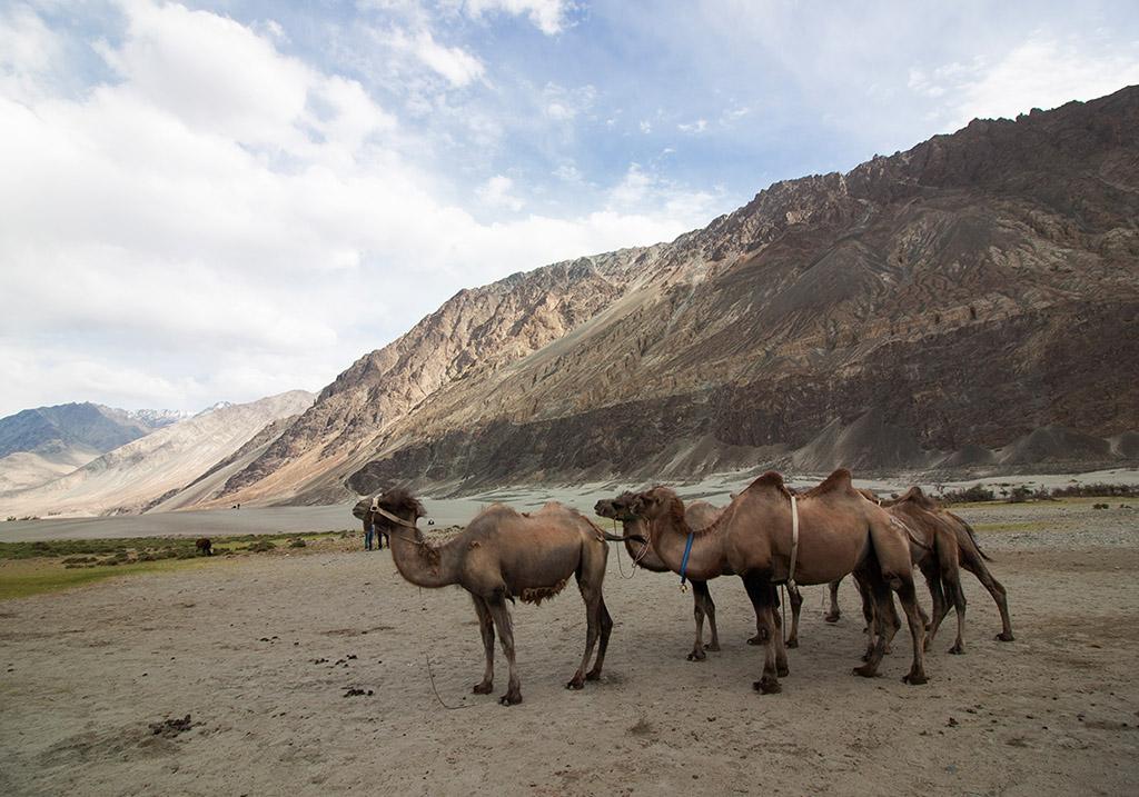 Camel Rides at Nubra valley